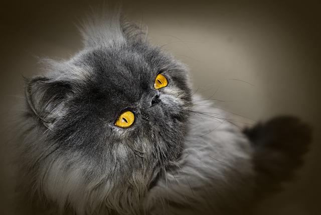 Gato Persa Azul