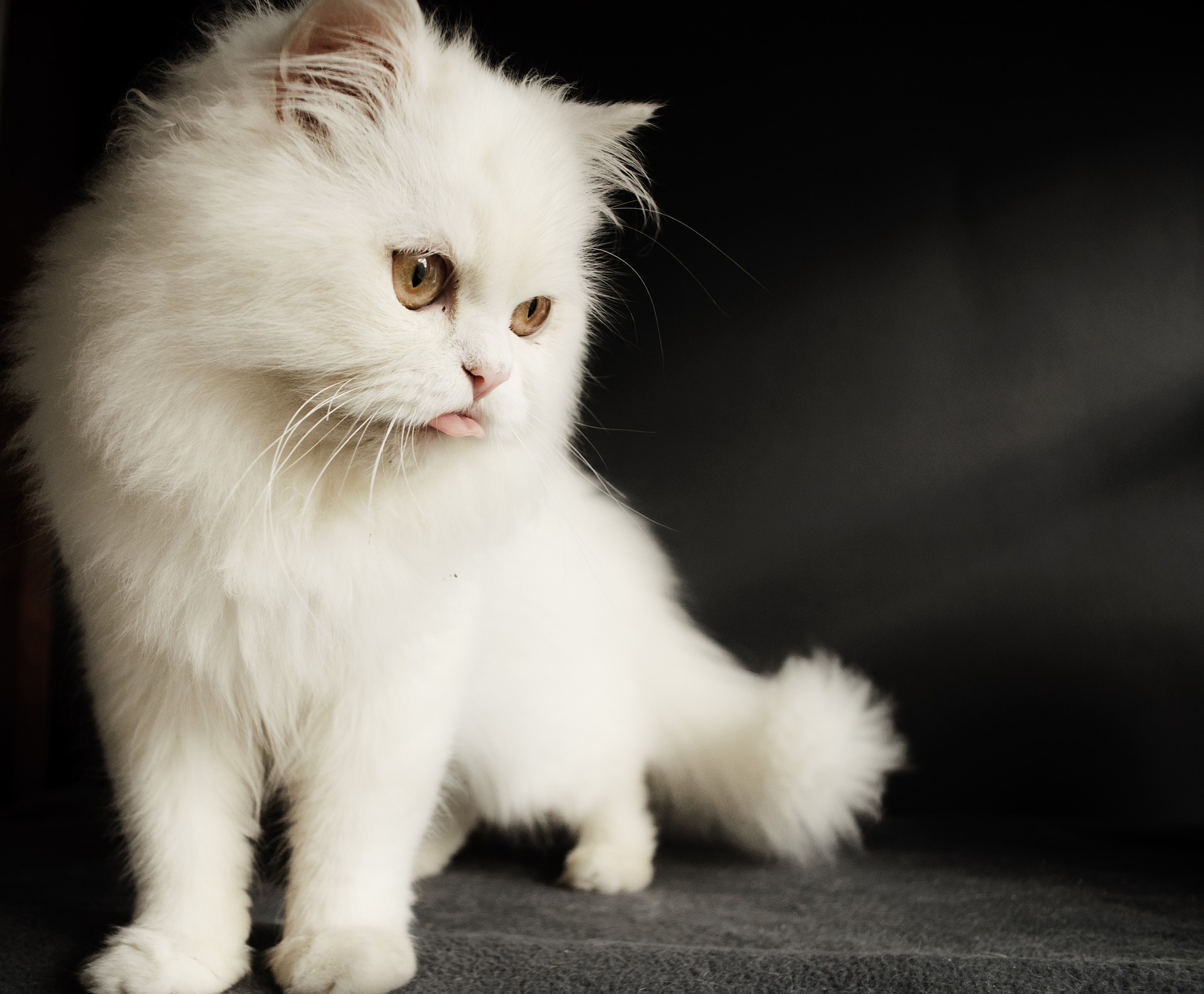 Gatito Persa Blanco Lindo