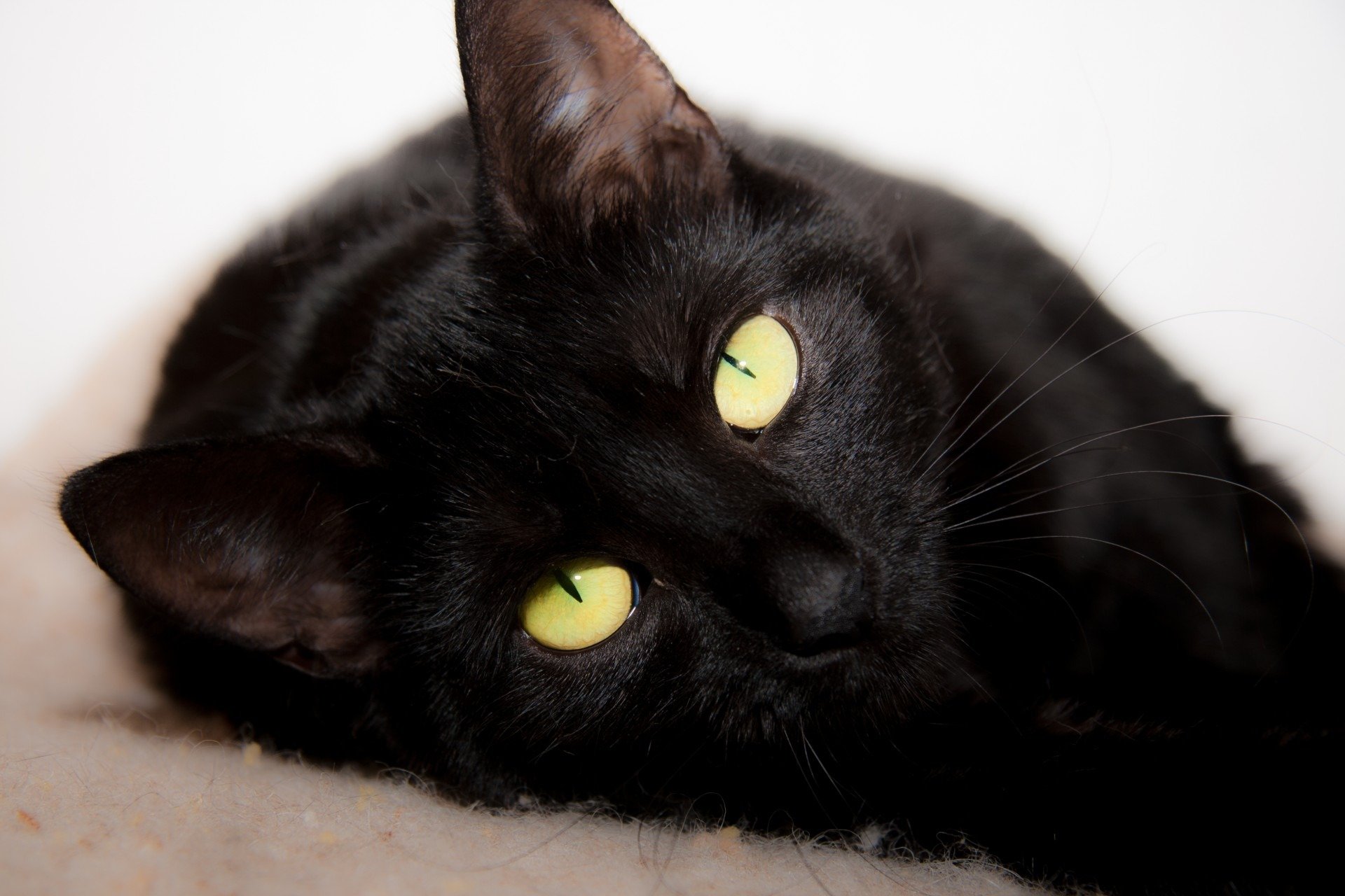 Gato de Bombay o Pantera Negra