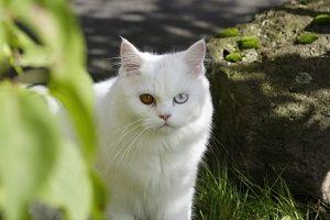 Gato persa blanco con un ojo de cada color