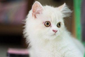 Gato persa ojos naranjas